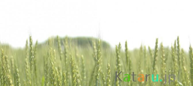 うどんの町 加須市の小麦畑